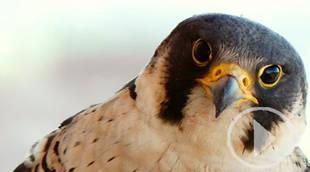 Sigue en directo la vida de la pareja de halcones peregrinos de Torre Garena