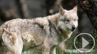 El lobo ibérico, en el punto de mira este fin de semana
