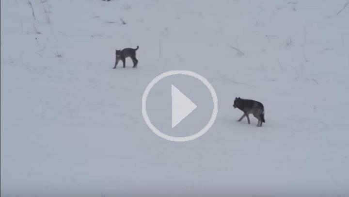 ¿Qué pasa cuando un lobo y un lince se encuentran en plena naturaleza?