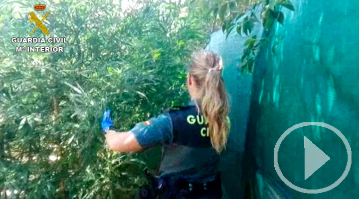 La Guardia Civil descubre 2.500 plantas de marihuana en Chinchón