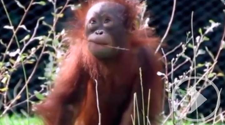 Semana del orangután en el Zoo de Madrid