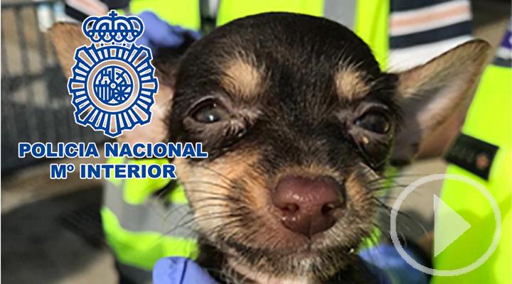 Desmantelado un criadero ilegal de perros y rescatados 17 cachorros