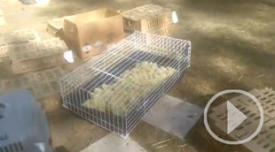 Cerca de 20.000 pollitos abandonados en Barajas
