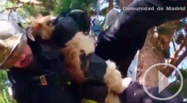 Los bomberos saben cómo bajar a un gato de un árbol