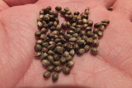 ¿Qué hay que saber sobre las semillas de marihuana?
