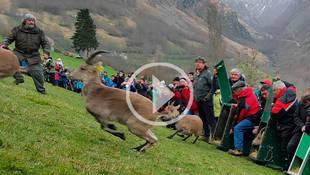 Madrid cede varias cabras a Francia para repoblar los Pirineos